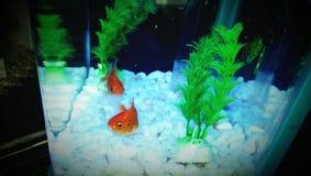 Goldfishes ma zabawę Zdjęcie Royalty Free