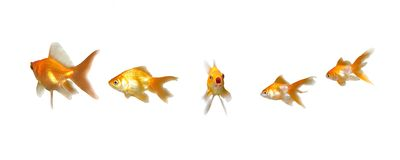 Goldfishes Member Speak Up Stock Image