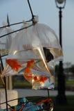 Goldfishes in pacchetto fotografie stock libere da diritti
