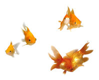 Goldfishes in pairs. Many pairs of beautiful goldfishes isolated on white background (can be used individually Royalty Free Stock Images