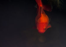 Goldfishes. Royalty Free Stock Images