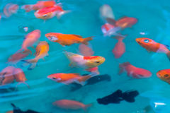 Goldfishes in pond , For Sell Royalty Free Stock Images