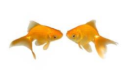 Goldfishes que se besan encantadores - invitación de la boda Foto de archivo