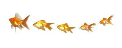 Goldfishes Teamwork and Leadership Stock Photography