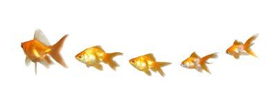 Goldfishes trabajo en equipo y dirección fotografía de archivo
