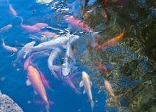 Goldfishes in uno stagno Immagini Stock