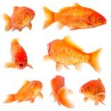 Goldfishg Fotografia Stock
