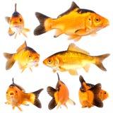 Goldfishg Immagini Stock
