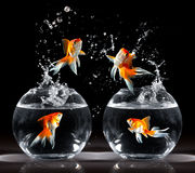 Goldfishs jumps Stock Images