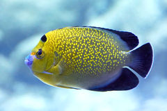 Goldflake Angelfish (Apolemichthys xanthopunctatus) Stock Photos