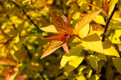 Goldflame Spirea Royalty Free Stock Photography