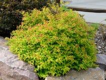 Goldflame Spirea Landscaping Shrub Royalty Free Stock Photos