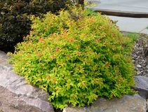 Goldflame Spirea Landscaping Shrub Royalty Free Stock Photos