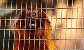 Goldgelbes Löwenäffchen-Affe nannte Leontropithecus-rosalia rosali Lizenzfreie Stockfotos
