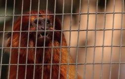 Goldgelbes Löwenäffchen-Affe nannte Leontropithecus-rosalia rosali Lizenzfreies Stockbild