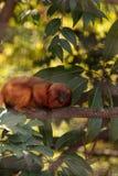 Goldgelbes Löwenäffchen-Affe nannte Leontropithecus-rosalia rosali Stockbilder