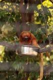 Goldgelbes Löwenäffchen-Affe nannte Leontropithecus-rosalia rosali Stockbild