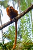 Goldgelbes Löwenäffchen/goldenes Seidenäffchen - roter Affe Stockbild