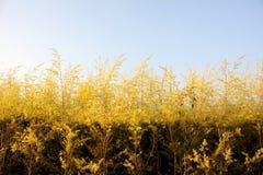 Goldgras Stockfoto