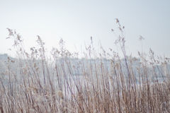 Goldgras an einem freien Winter-Tag Lizenzfreie Stockfotografie