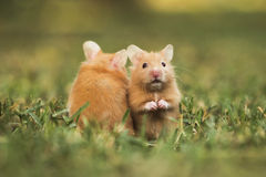 Goldhamster Stockfotos