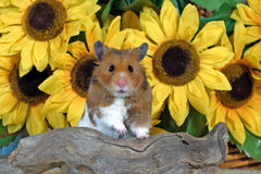 Goldhamster Stock Image