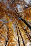 Goldherbst Bäume in einem Park Lizenzfreie Stockfotos