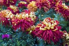 Goldhintere rote Chrysantheme Lizenzfreie Stockfotos