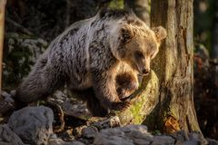 Goldie the bear in Dinaric forest Stock Photo