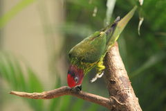 Goldie的lorikeet 图库摄影