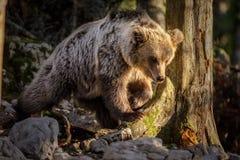 Goldie niedźwiedź w Dinaric lesie Zdjęcie Stock