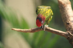 Goldie's lorikeet Stock Photos