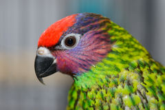 Goldie's Lorikeet. This is an image of a Goldie's Lorikeet Stock Photos