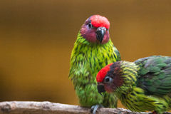 Goldie's lorikeet Royalty Free Stock Photo