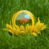 Goldish in yellow flower. Closeup of goldfish swimming in glass ball in center of blooming yellow flower, green grass background Royalty Free Stock Images
