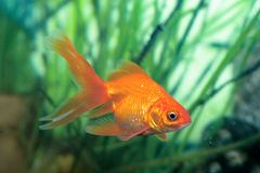 Goldkleine Fische Stockfotografie