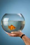Goldkleine Fische in einem runden Aquarium Stockbilder