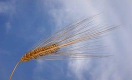 Goldkorn gegen einen blauen Himmel Stockfoto