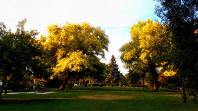 Goldleafer. Golden leaves on park trees in the sunlight and evening Stock Photography
