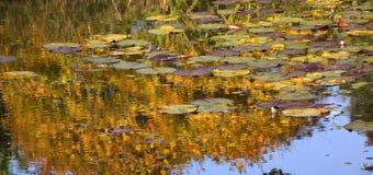 Goldlilien-Auflagen Water Reflections Van Dusen Gardens stockbild