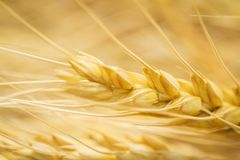 Golden wheat ear macro Royalty Free Stock Images