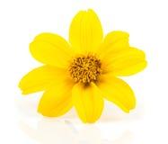 Free Goldmarie (Bidens Ferulifolia) Stock Photo - 43071270