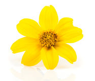 Goldmarie (Bidens ferulifolia) Stock Photo