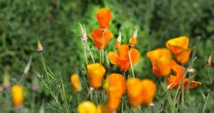 Goldene Mohnblumen Stockbilder