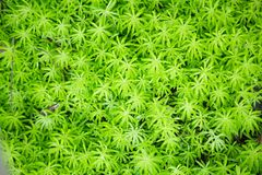 Goldmoss sedum or goldmoss stonecrop Sedum Acre, leaf succulent flowering plants with water-storing leaves background. Decoratio stock image