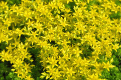 Goldmoss Stonecrop Royalty Free Stock Photography