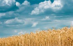 Goldohren des Weizens gegen den blauen Himmel Lizenzfreies Stockfoto