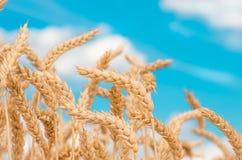 Goldohren des Weizens gegen den blauen Himmel Stockbilder