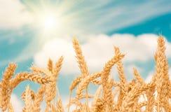 Goldohren des Weizens gegen den blauen Himmel Stockbild