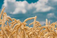 Goldohren des Weizens gegen den blauen Himmel Lizenzfreies Stockbild